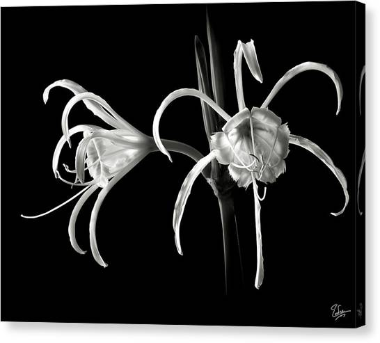 Peruvian Daffodil In Black And White Canvas Print