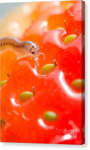 Millipedes Canvas Print - Pest Millipede Cylindroiulus Punctatus Feeding On A Strawberry by Andy Smy