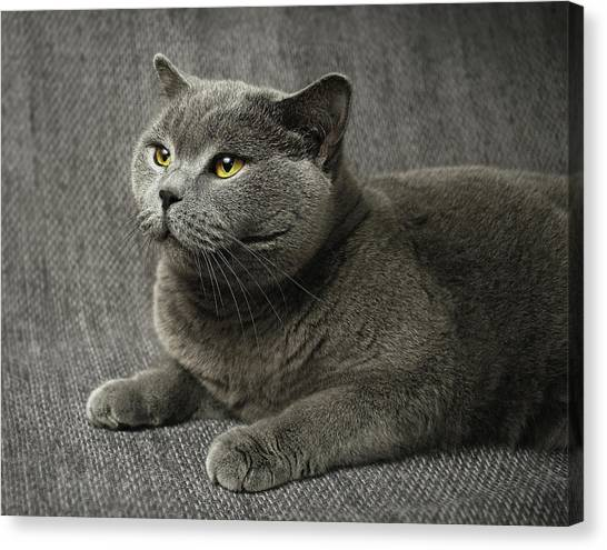 Grey Canvas Print - Pet Portrait Of British Shorthair Cat by Nancy Branston