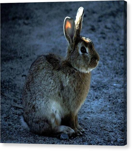 Hops Canvas Print - Peter Cottontail by Daryl Macintyre