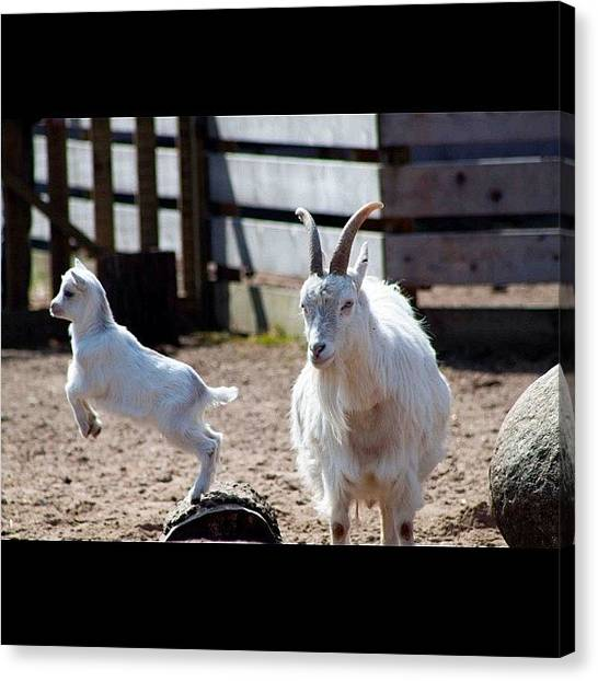 Goats Canvas Print - Petting Zoo At The Park by Robert Hellstrom