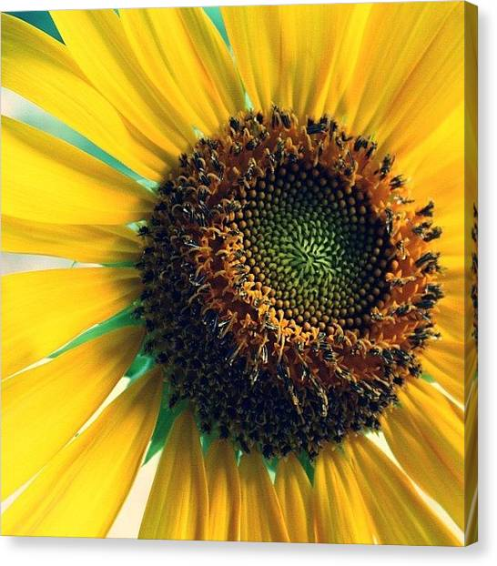 Sunflowers Canvas Print - #photo #beauty #ig_daily #insta by April J
