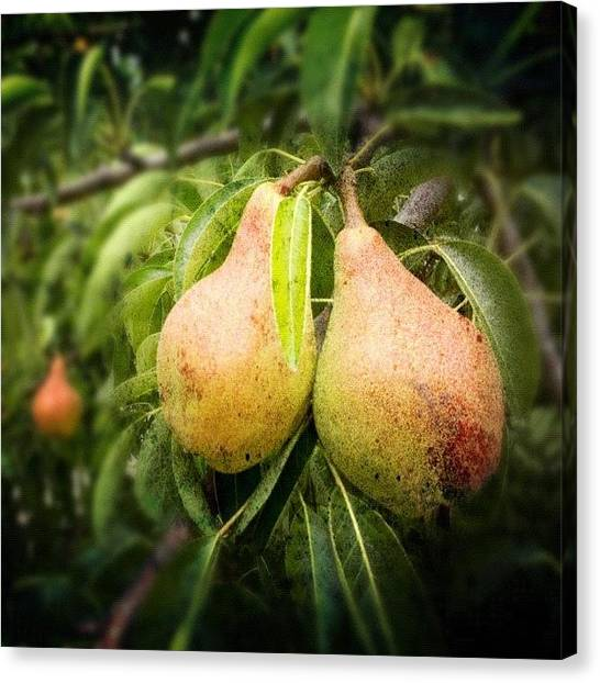 Fruit Trees Canvas Print - #photoadayaug #pair Of #pears #iphone4s by Rainey Shafer