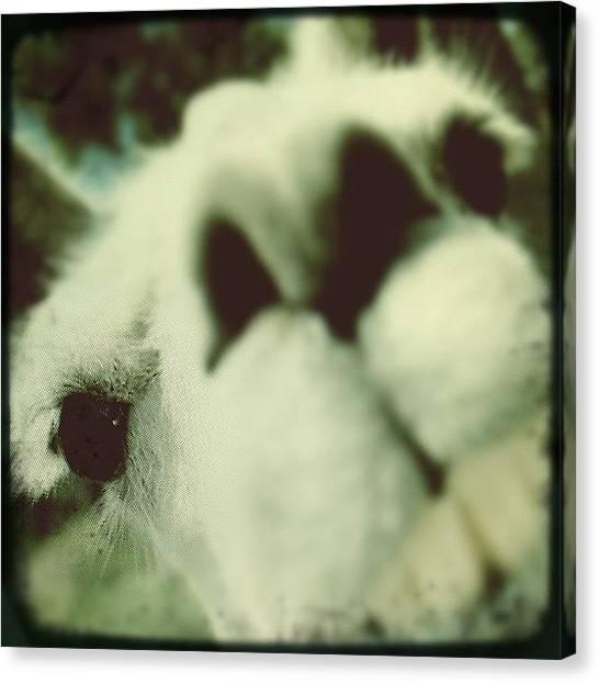 Llamas Canvas Print - #photoscavengerhunt...#llama ;) @bimlay by Jonelle Dansie
