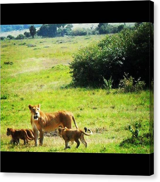 Kenyan Canvas Print - Pic Of Our Awesome #lioness Sighting by Joanna Dowdell