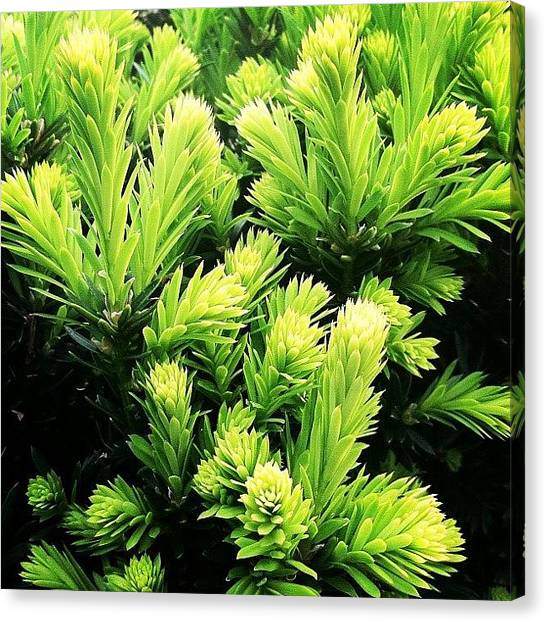 Limes Canvas Print - #picoftheday #iphonesia #instagramhub by Kelly Clemente