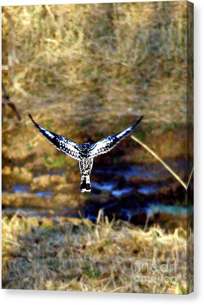 Pied Kingfisher In Flight Canvas Print by Louise Peardon