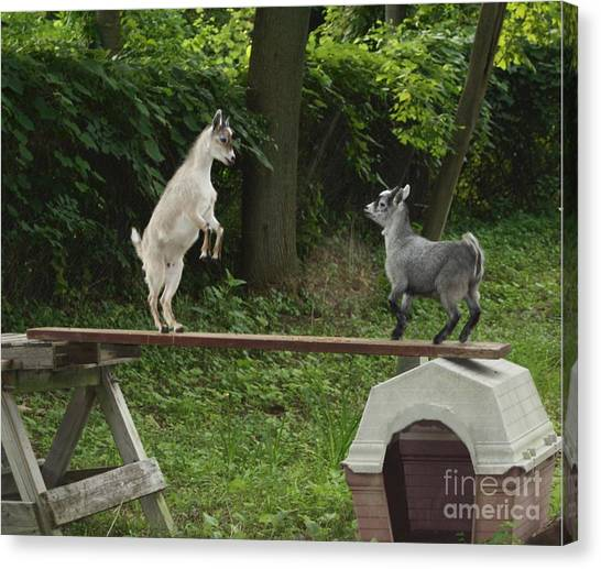 Pigmy Canvas Print - Pigmy Goats Who's Taller by Maxine Bochnia