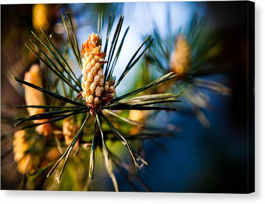 Pine Cone And Needles Canvas Print