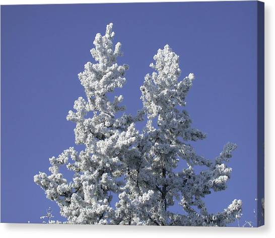 Pine Hoar Frost Canvas Print