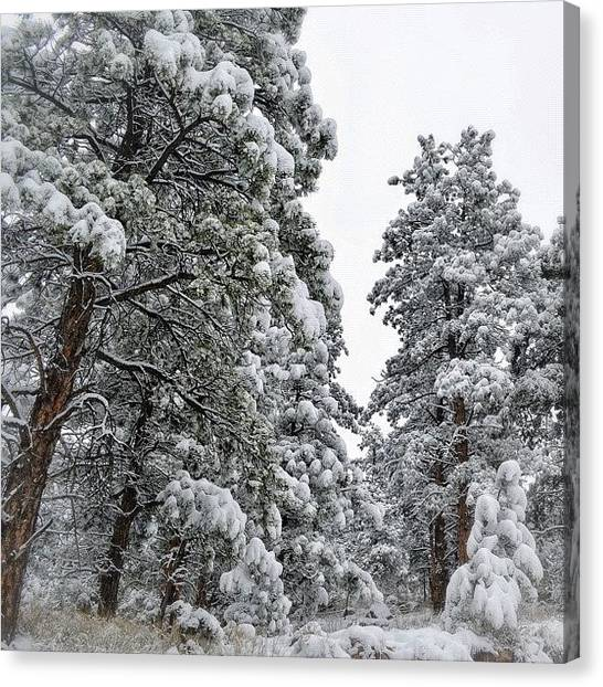 Rocky Mountains Canvas Print - Pine Trees Covered With Snow by Najat Husain