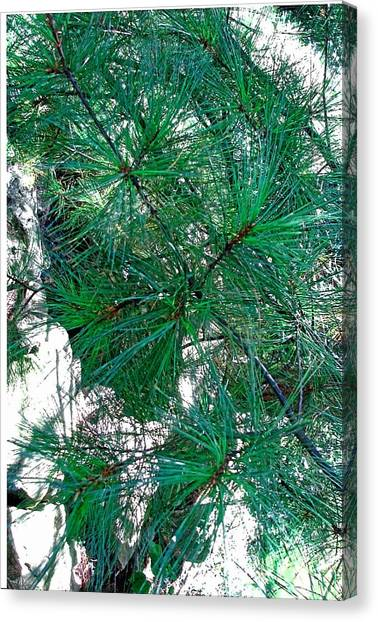 Pine With Rocks Canvas Print by Suzanne Fenster