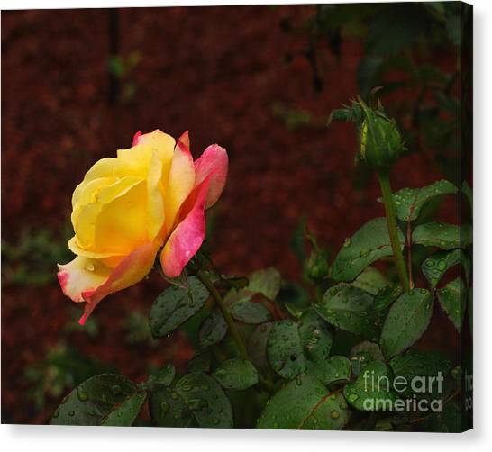 Pink And Yellow Rose 6 Canvas Print