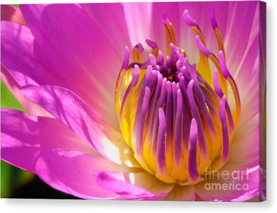 Pink And Yellow Water Lily Close Up Canvas Print