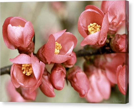 Pink Blossom Canvas Print by Y. Deshayes - Photography