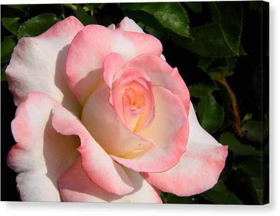 Pink Edge Rose Canvas Print