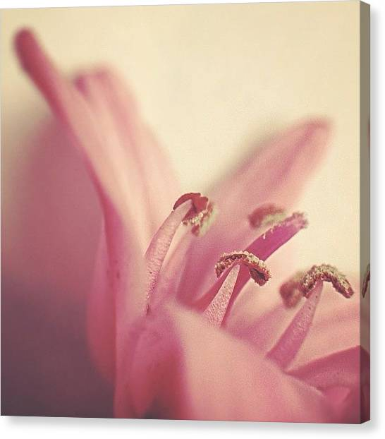 Pastel Canvas Print - Pink Flower by Sari S