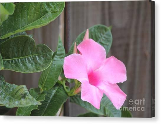 Pink Hibiscus 2 Canvas Print