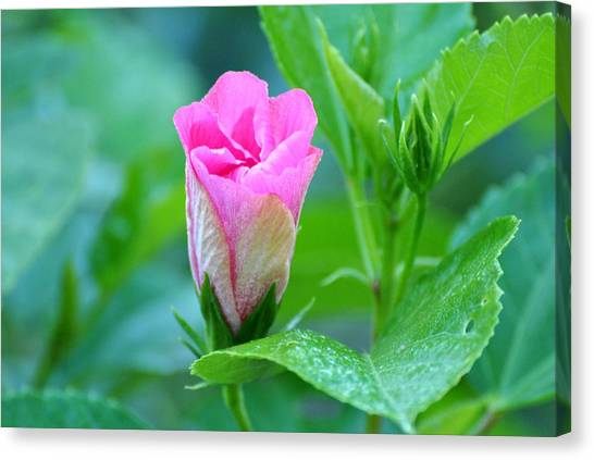 Pink Hybiscus Bud Canvas Print