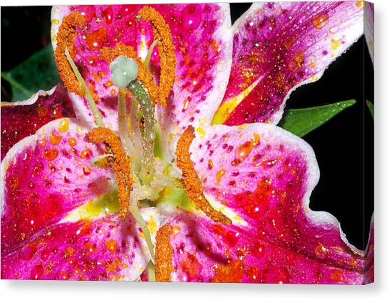 Pink Lilly In The Rain Canvas Print by Michelle Armstrong