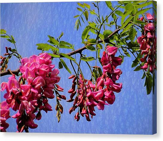 Pink Locust Blossoms Canvas Print