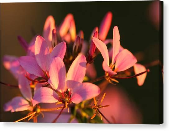 Pink Morning Canvas Print