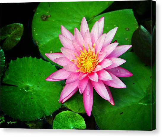 Pink Nymphaea Canvas Print