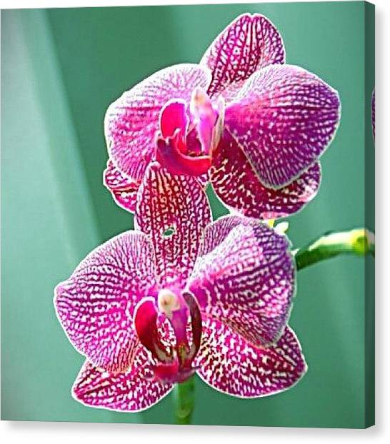 Orchids Canvas Print - #pink #orchid #iphoneography #iphonesia by Sherri Galvan