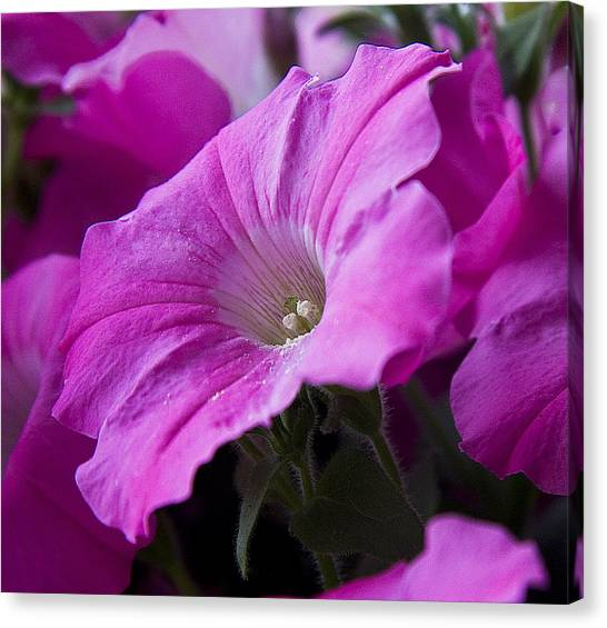 Pink Petunia II Canvas Print