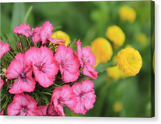 Pink Phlox And Yellow Buttons Canvas Print