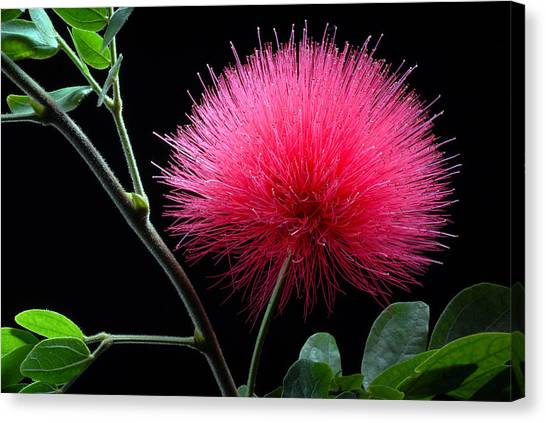 Pink Powder Puff Flower Canvas Print