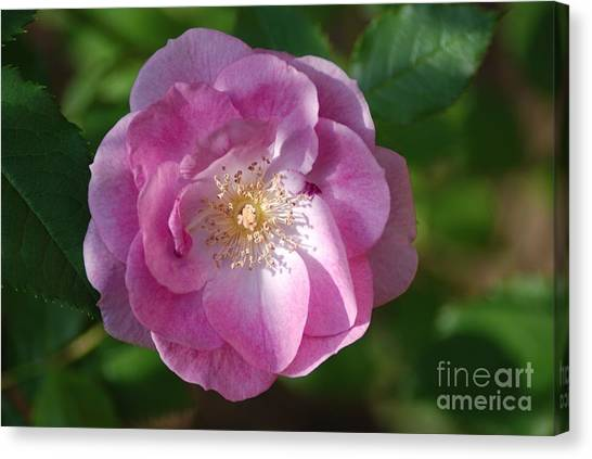 Pink Rose Close Up Canvas Print