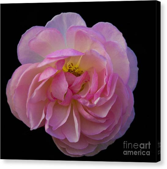Pink Rose On Black Canvas Print by Ursula Lawrence