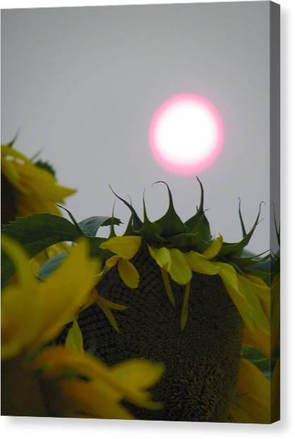 Pink Sun Setting Over Sunflower Field Canvas Print