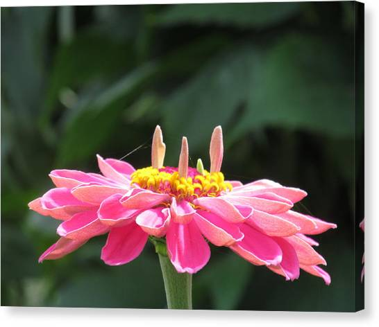 Pink  Taffy Canvas Print