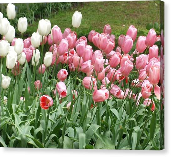 Pink Tulips Canvas Print by Larry Krussel