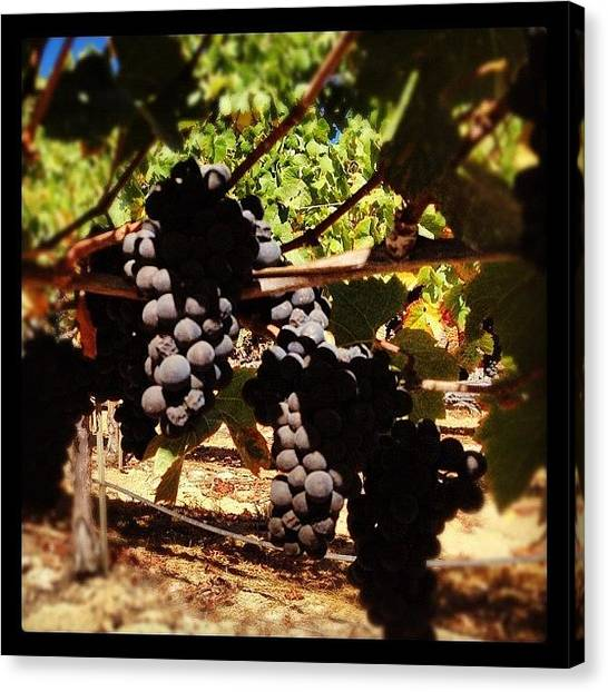 Wine Canvas Print - #pinot #grapes Almost Ripe #harvest2012 by Eric Kent Wine Cellars
