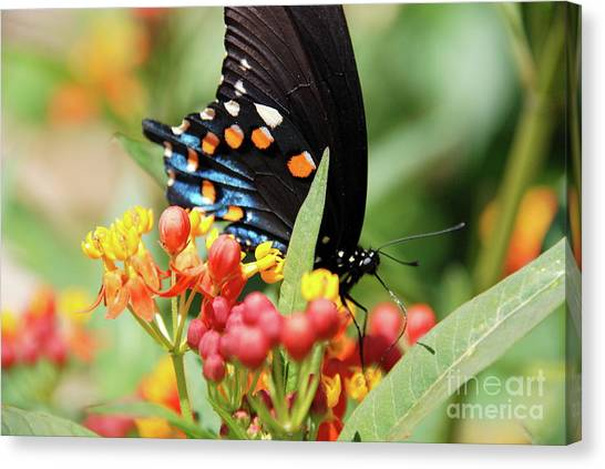 Pipevine Swallowtail Too Canvas Print