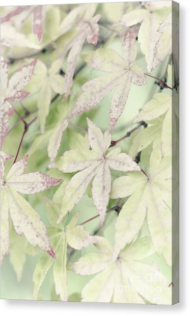 Pistachio Maple Canvas Print by David Lade