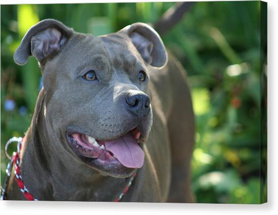Pitbull In The Garden Canvas Print by Ritmo Boxers