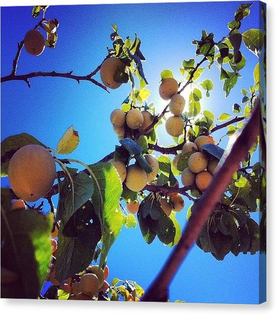 Fruit Trees Canvas Print - Plum Picking by Chloe Stickland