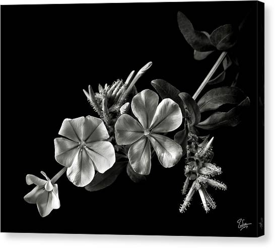 Plumbago In Black And White Canvas Print