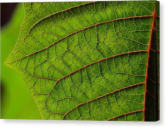 Poinsettia Leaf I Canvas Print