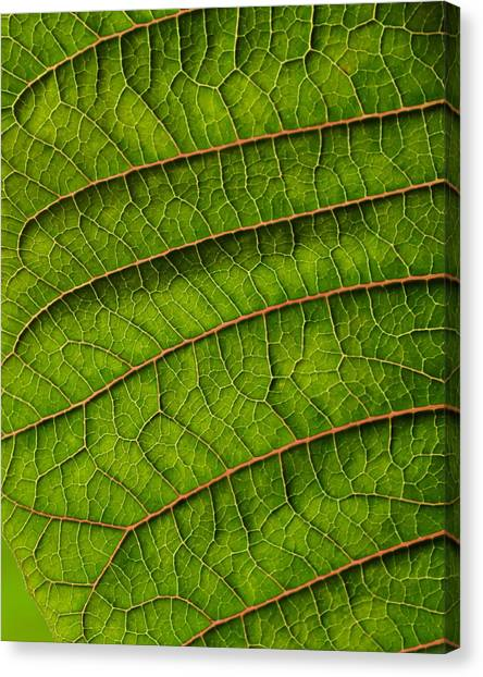 Poinsettia Leaf II Canvas Print