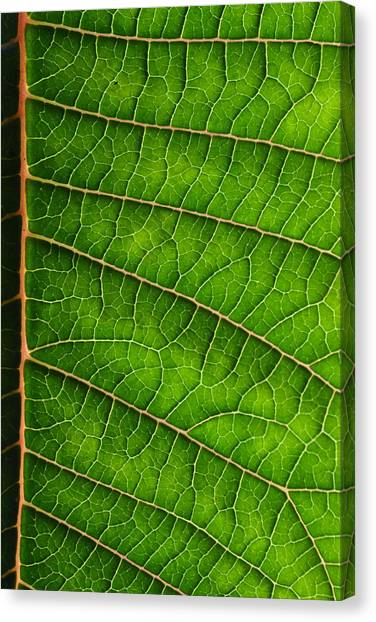 Poinsettia Leaf IIi Canvas Print