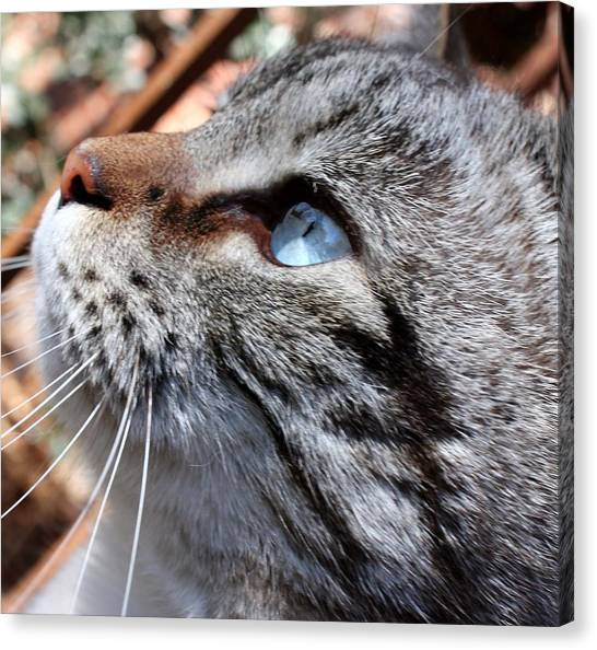 Manx Cats Canvas Print - Point Lynx Siamese Boy by Kathleen Horner