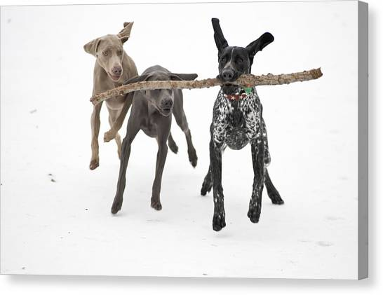 Three Pointer Canvas Print - Pointers Rule, Weimaraners Drool by Michael Fiddleman, fiddography.com