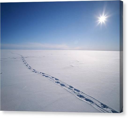 Northwest Territories Canvas Print - Polar Bear Tracks In The Snow On Top by John Dunn / Arctic Light