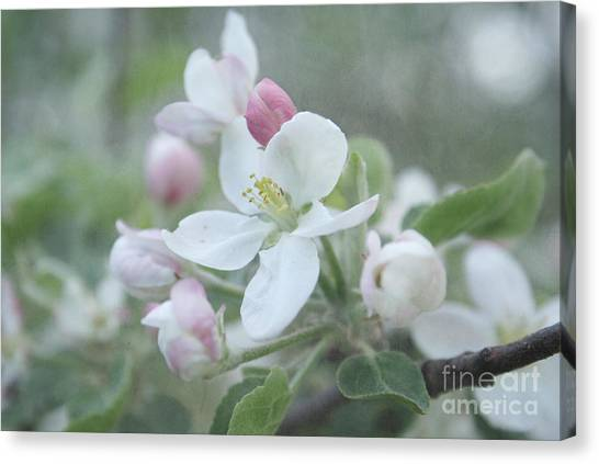 Tree Blossoms Canvas Print - Pomme D Api 01 - S01bt01b by Variance Collections