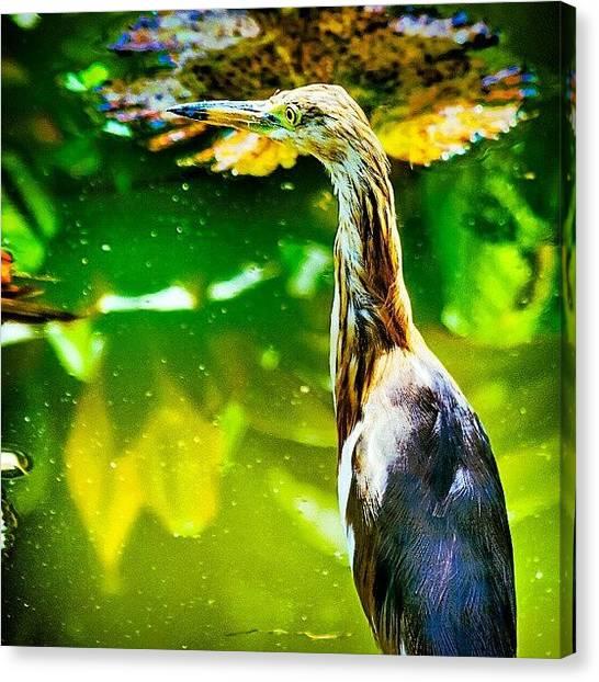 Herons Canvas Print - Pond Heron by Rahman Galela
